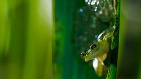Valerioi en verre réticulé masculin de Hyalinobatrachium de grenouille gardant un embrayage des oeufs photographie stock