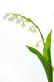 valey лилии Стоковые Фотографии RF