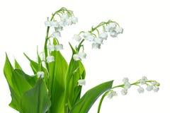 valey лилии Стоковое Изображение RF