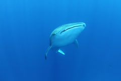 Valhaj i det röda havet royaltyfri fotografi