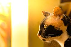 Valiant multicolors cat looking something forward. Close up multicolors mature valiant cat concentrate looking something forward in soft warm light backgruond royalty free stock photo
