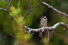 Validirostris Melithreptus - Сильн-представленное счет Honeyeater сидя на ветви в forrest os Австралии стоковое изображение rf
