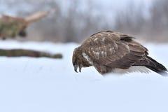 Valk in de winter stock foto