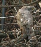 Valk die een vogelzitting op wijnstokken eten royalty-vrije stock afbeeldingen
