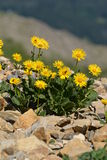 Valkruid Montana (Doronicum Grandiflorum) Stock Afbeelding