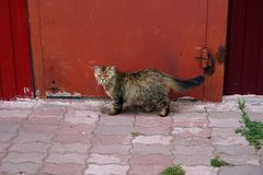 Valks macios domésticos de um gato no fundo da porta vermelha Imagem de Stock Royalty Free