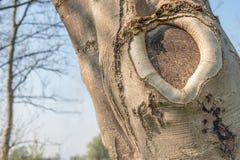 Valksilkespapper runt om en trädsår, når att ha beskurit royaltyfri fotografi