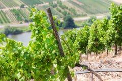 Vallée Allemagne de la Moselle de vignoble Photos stock