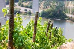 Vallée Allemagne de la Moselle de vignoble Photo libre de droits