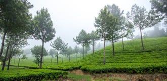 Vallée brumeuse de thé Photos stock