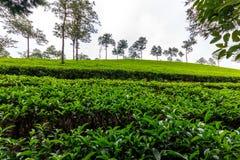 Vallée brumeuse de thé Photographie stock libre de droits