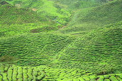 Vallée de ferme de thé en montagnes de Cameron Images stock