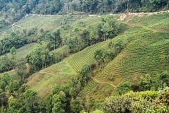 Vallée de jardin de thé Image libre de droits
