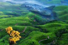 Vallée de plantation de thé au lever de soleil Photos stock