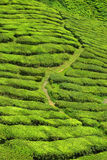 vallée de thé Image libre de droits