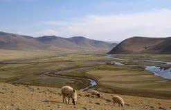 Vallée en Mongolie avec des moutons Photo stock