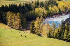 Vallée incroyable de paysage des montagnes d'Altai avec les arbres, le cheval et la rivière Images libres de droits