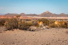 Vallée large entre les montagnes où il y a un groupe de lamas photos libres de droits
