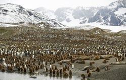 Vallées serrées - pingouins, la Géorgie du sud Photographie stock libre de droits