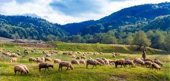 Valla att bevaka hans flock i de Carpathians bergen av trans. royaltyfria foton