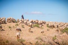 Valla att medfölja hennes flock av får i en grässlätt i Portu royaltyfria bilder