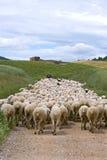 Valla med flocken av får i naturligt landskap Arkivfoto