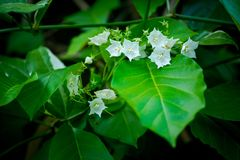 Vallaris glabra flower Stock Photography