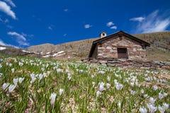Valle alpina - croco Fotografie Stock