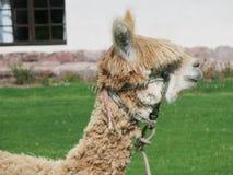 Valle alta del lama e sacra vicina, Machu Picchu, Cuzco, Perù Immagini Stock Libere da Diritti