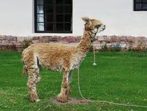 Valle alta del lama e sacra vicina, Machu Picchu, Cuzco, Perù Immagine Stock Libera da Diritti