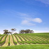 Valle Australia della Clare della vigna Fotografia Stock