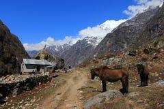 Valle, caballos y paisaje del pueblo de Langtang de la montaña de Himalaya Foto de archivo libre de regalías