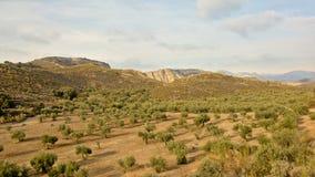 Valle con di olivo con le alte scogliere dietro in montagne di Sierra Nevada un giorno soleggiato Immagini Stock