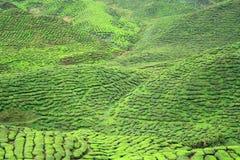 Valle de la granja del té en las montañas de Cameron Imagenes de archivo