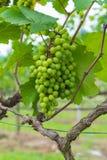 Valle de la uva Fotos de archivo