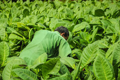 Valle de Vinales, ΚΟΥΒΑ - 19 Ιανουαρίου 2013: Άτομο που εργάζεται στην Κούβα Στοκ Εικόνες