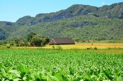 Valle de Vinales, campo de tabaco, Cuba Imagen de archivo libre de regalías