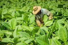 Valle de Vinales, CUBA - 19 de janeiro de 2013: Homem que trabalha em Cuba Imagens de Stock Royalty Free