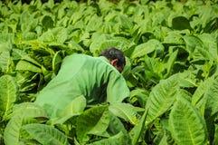 Valle de Vinales, CUBA - 19 gennaio 2013: Uomo che lavora a Cuba Immagini Stock