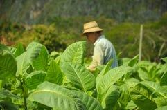 Valle de Vinales, CUBA - 19 gennaio 2013: Uomo che lavora a Cuba Immagine Stock Libera da Diritti
