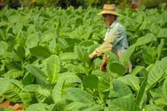 Valle de Vinales, CUBA - JANUARY 19, 2013: Man working  on Cuba Stock Photography