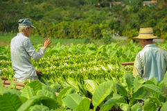 Valle de Vinales, CUBA - JANUARY 19, 2013: Man working  on Cuba Stock Image