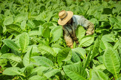 Valle de Vinales, KUBA - 19. Januar 2013: Mann, der an Kuba arbeitet Lizenzfreie Stockbilder