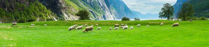 Valle del fiordo con le pecore Fotografia Stock