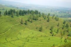 Valle del giardino di tè Fotografia Stock Libera da Diritti