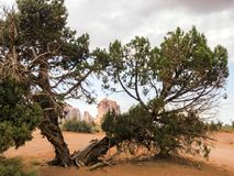 Valle del monumento, vecchi alberi - Arizona, AZ Fotografia Stock