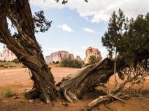 Valle del monumento, vecchi alberi - Arizona, AZ Immagine Stock
