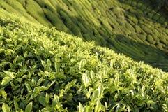 Valle del tè Fotografia Stock Libera da Diritti