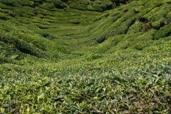 Valle del tè Immagini Stock