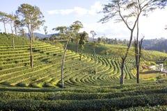 Valle del tè verde Fotografie Stock